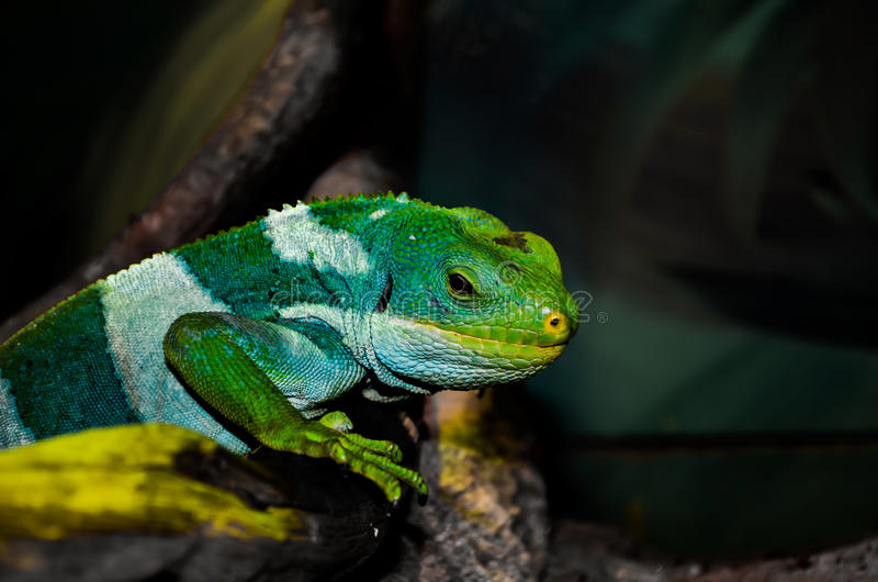 Kameleonu koloru tajemnica zdjęcie royalty free