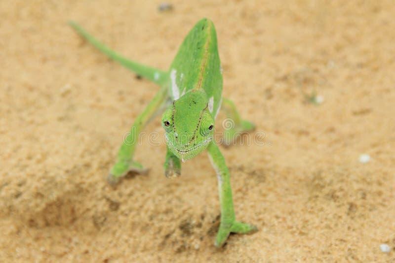 Kameleonu tło Komicznie oczy - Afryka - zdjęcia royalty free