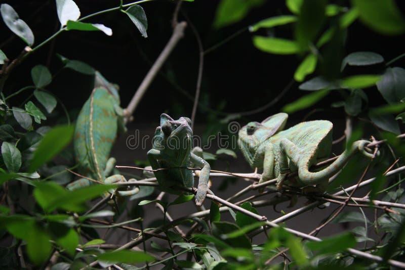 kameleony fotografia stock