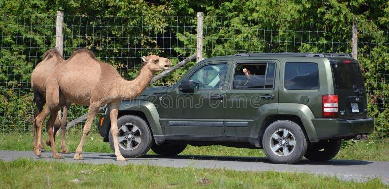 Kamelfahrt um Autos stockfoto