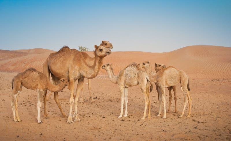 Kamelfamilie lizenzfreie stockfotos