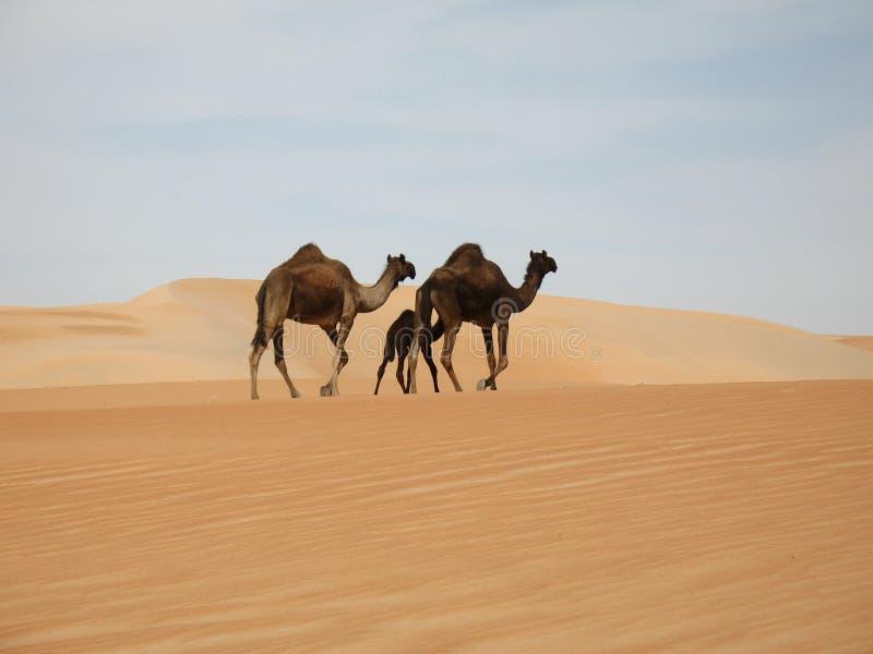 kamelfamilj arkivfoton