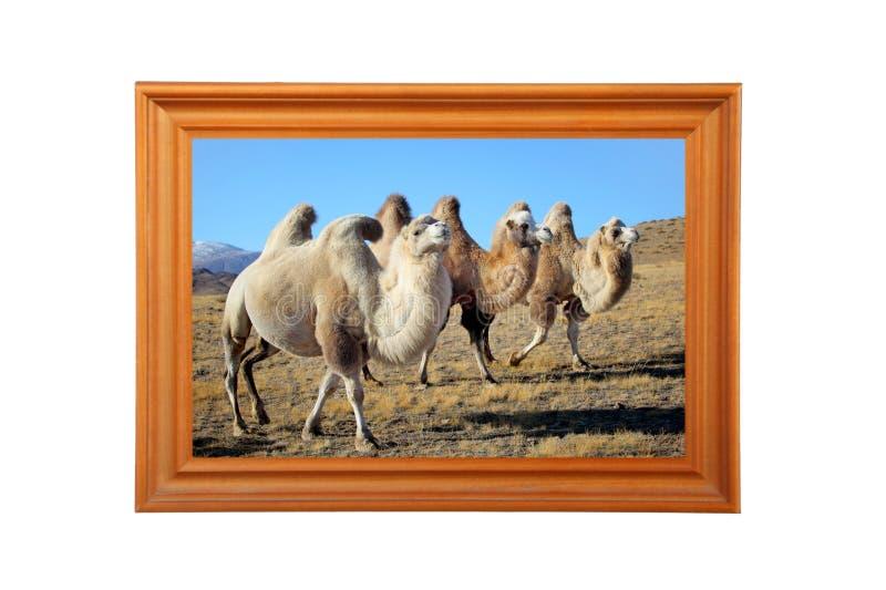 kamelfoto royaltyfria foton