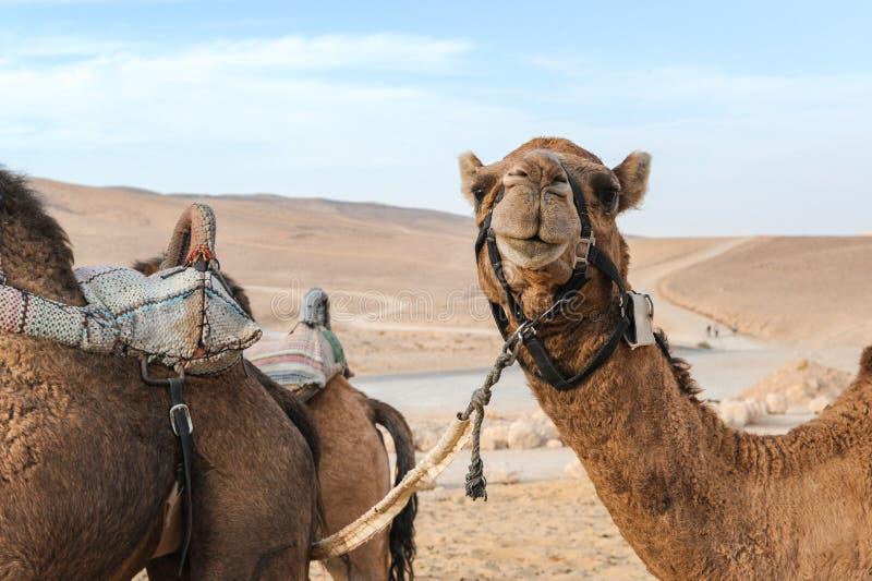 Kamelframsida i den Israel öknen royaltyfria foton