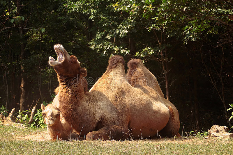 kamelgäspning arkivfoto