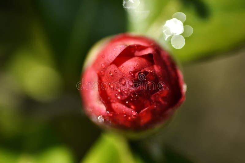 Kamelienblumen-Rot alabastrum lizenzfreie stockbilder