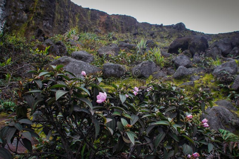 Kameliowi sasanqua kwiaty z różowymi kwiatami obraz stock