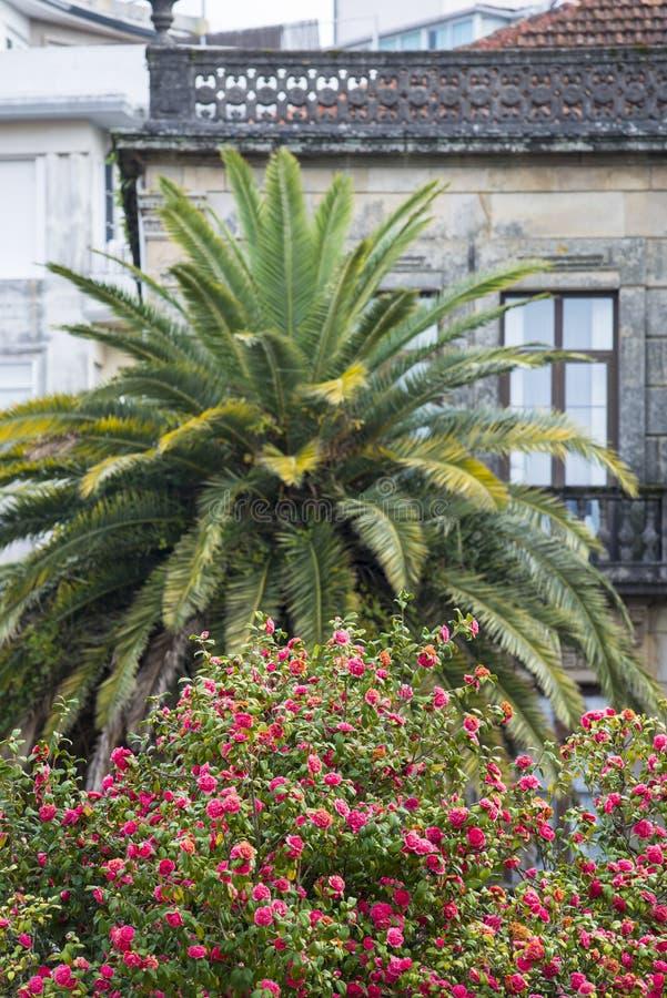 Kameliowy drzewo, drzewko palmowe przed budynkiem obrazy stock