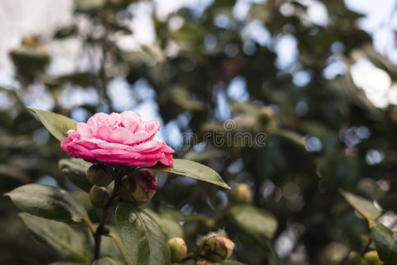 Kameliowy japonica na drzewie zdjęcie stock