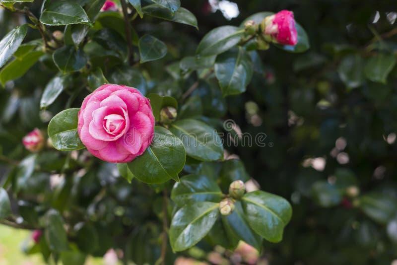 Kameliowy japonica na drzewie fotografia royalty free