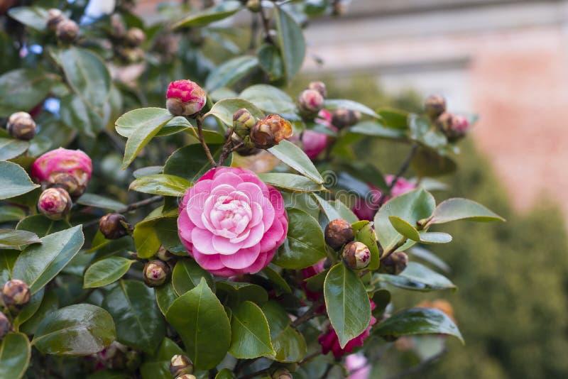 Kameliowy japonica na drzewie obrazy royalty free