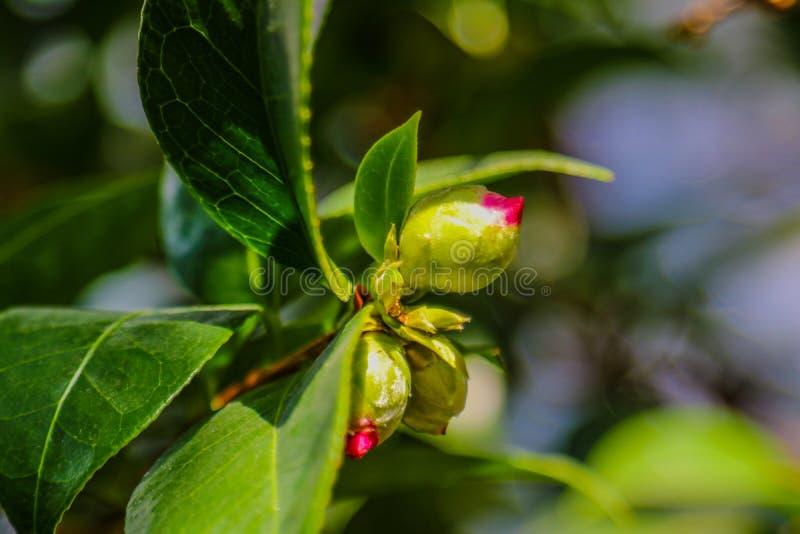 Kameliowy japonica, znać jako pospolita kamelia, Japońska kamelia lub tsubaki w japończyku, jest jeden najbardziej znany gatunki zdjęcia stock