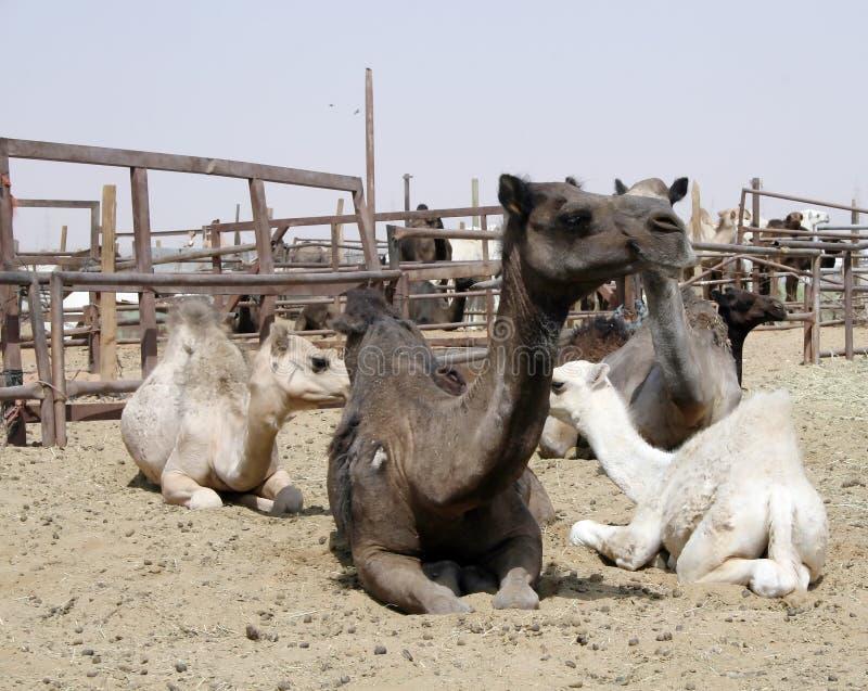 kamelmarknad royaltyfria bilder