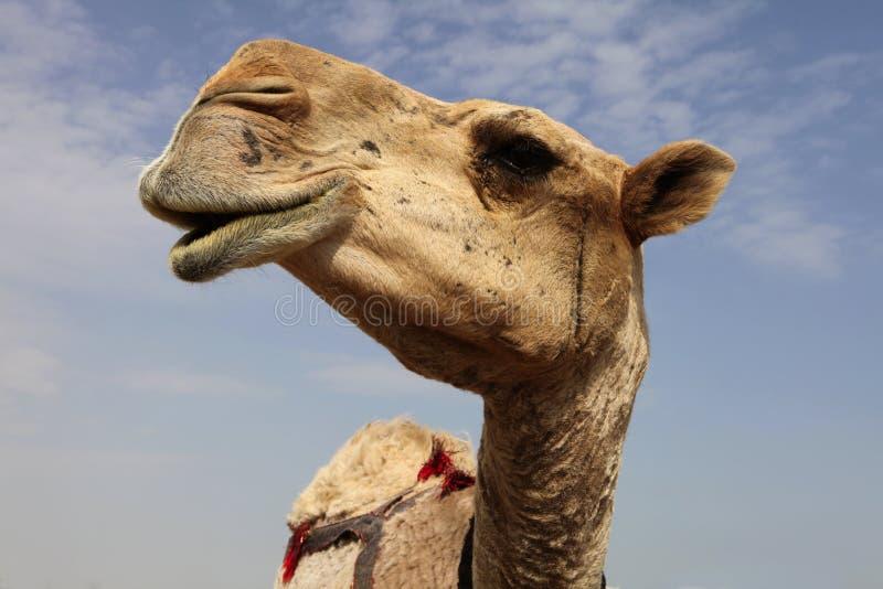 Kamelnahaufnahme lizenzfreie stockfotos
