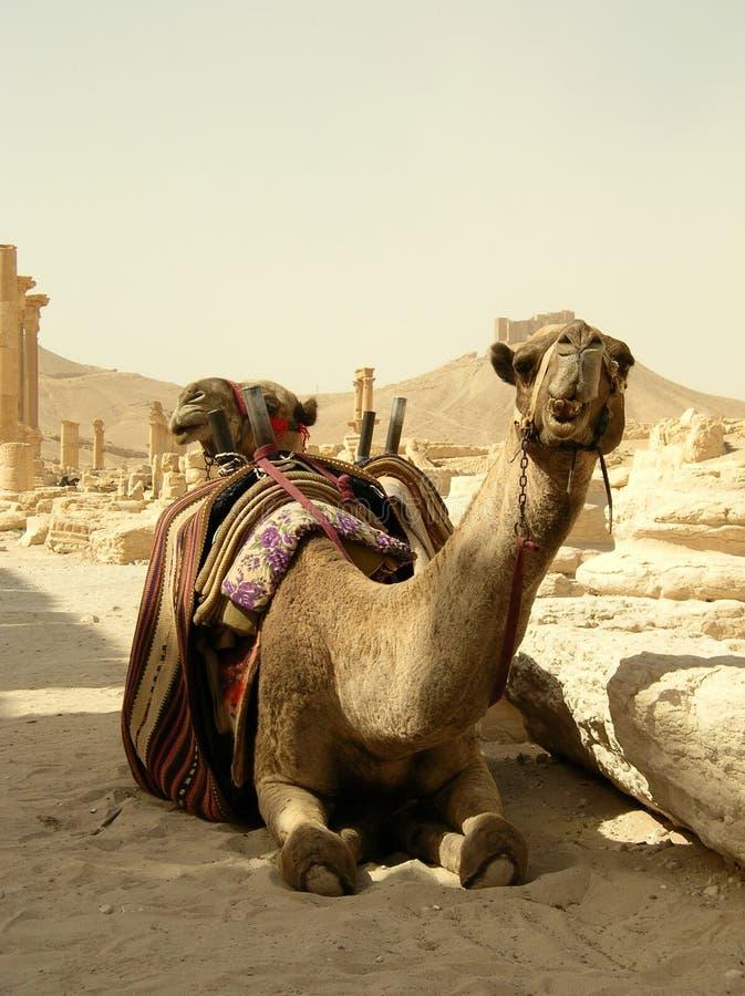 kamelpalmyra syria arkivfoto
