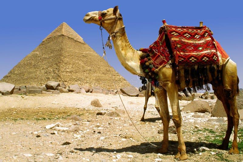 kamelpyramid royaltyfria bilder