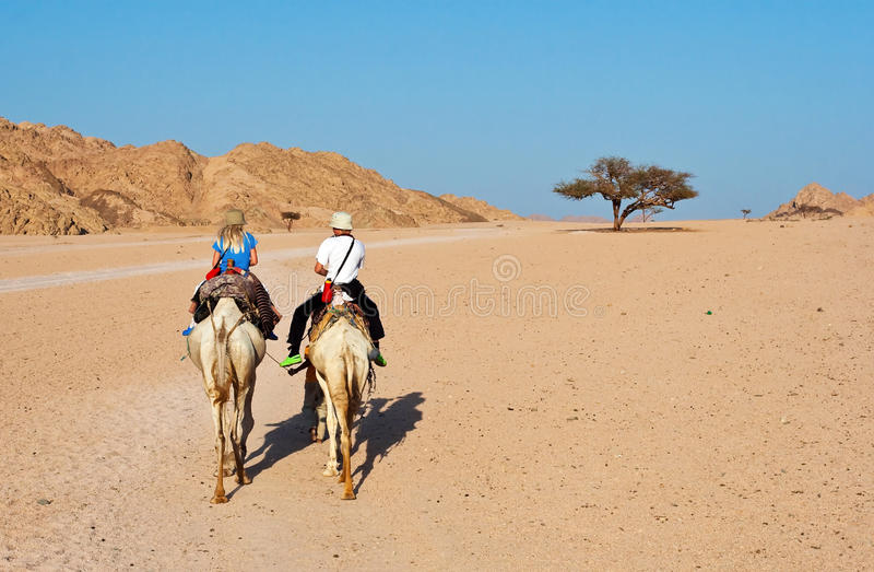 kamelritt arkivbild