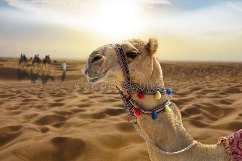 Kamelritt i öknen på solnedgången med ett le kamelhuvud royaltyfri bild