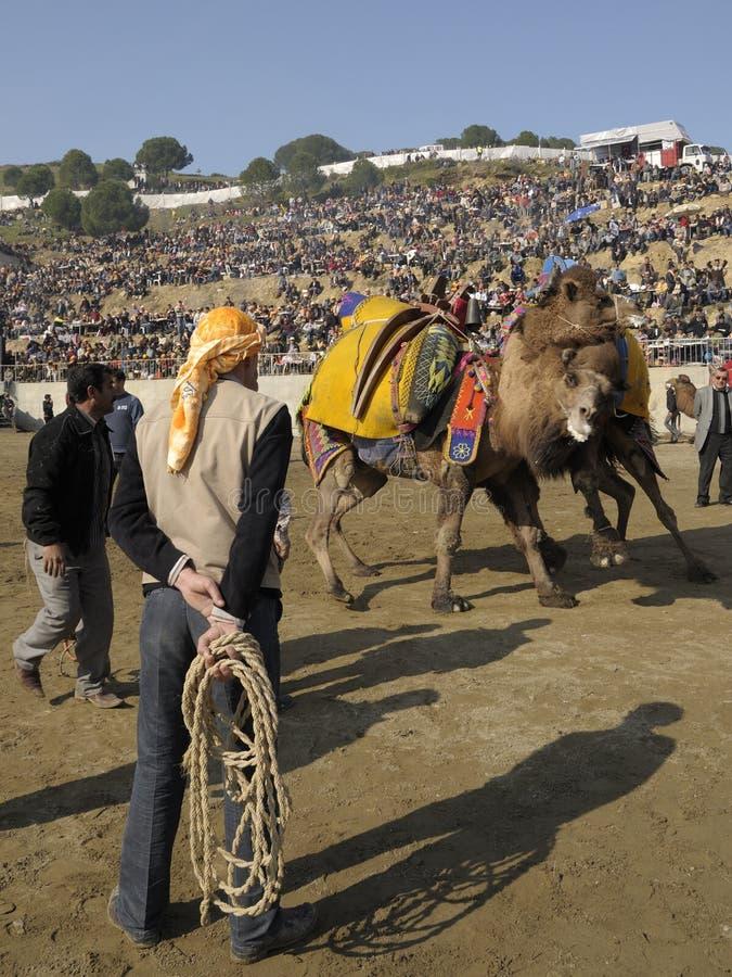 kamelslagsmål arkivbild
