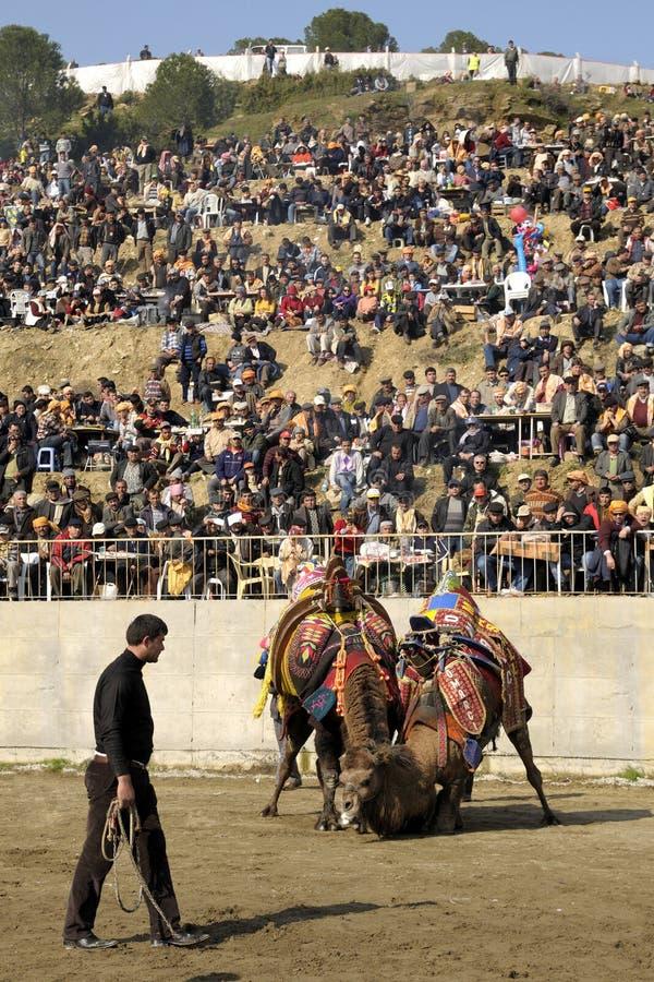 kamelslagsmål royaltyfri fotografi