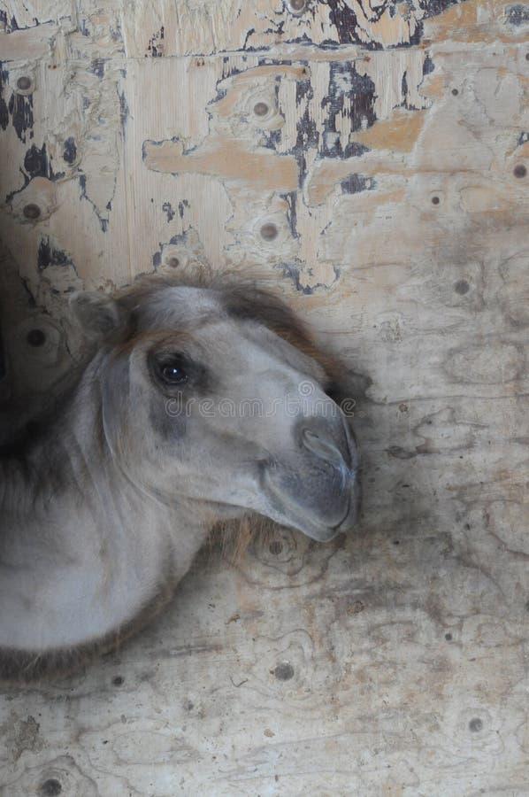 Kamelväggen royaltyfri fotografi