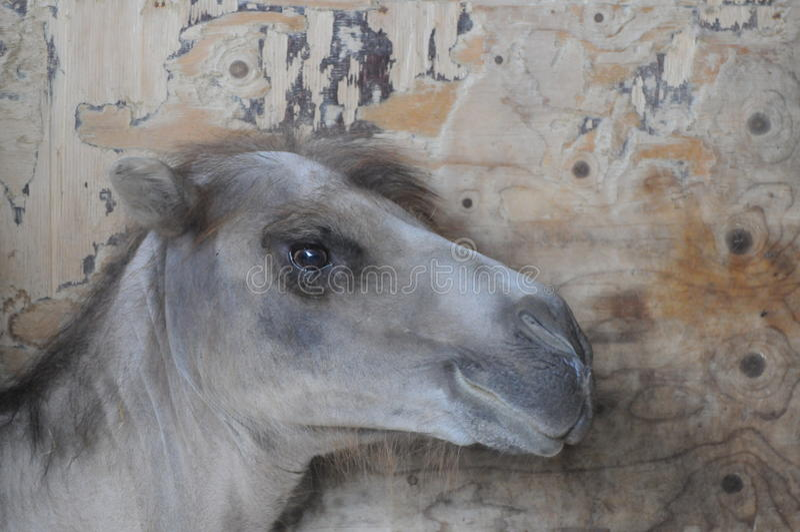 Kamelväggen royaltyfria bilder