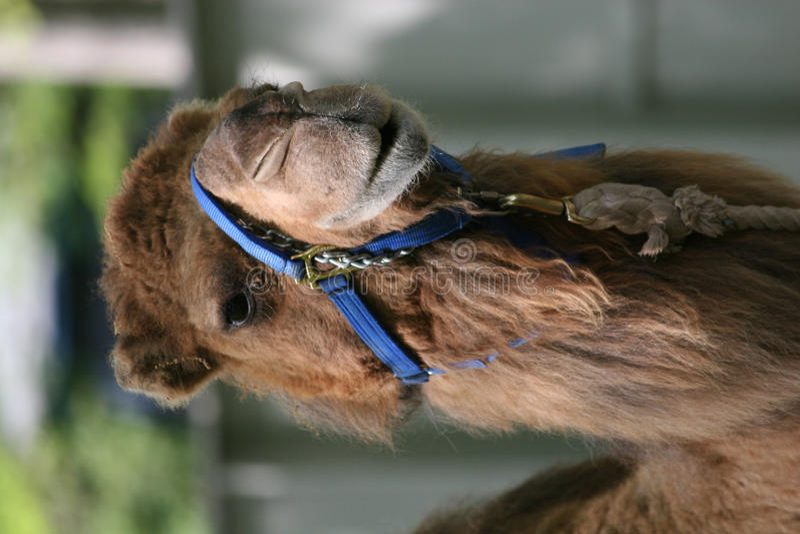 kamelvänskapsmatch arkivfoto