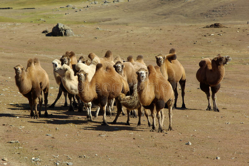 Kamelwohnwagen auf der Wiese lizenzfreie stockbilder