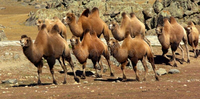 Kamelwohnwagen auf der Wiese stockfotos