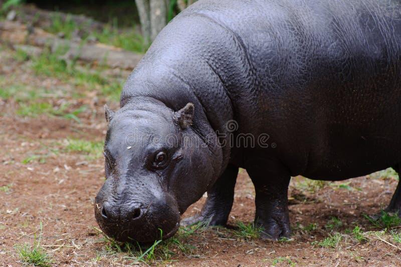 kamera hipopotam patrzeje pigmeja fotografia royalty free