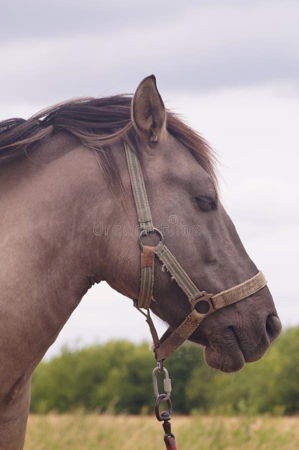 kamera szuka? koni Kolor żakiet dzwoni: Buckskin fotografia stock