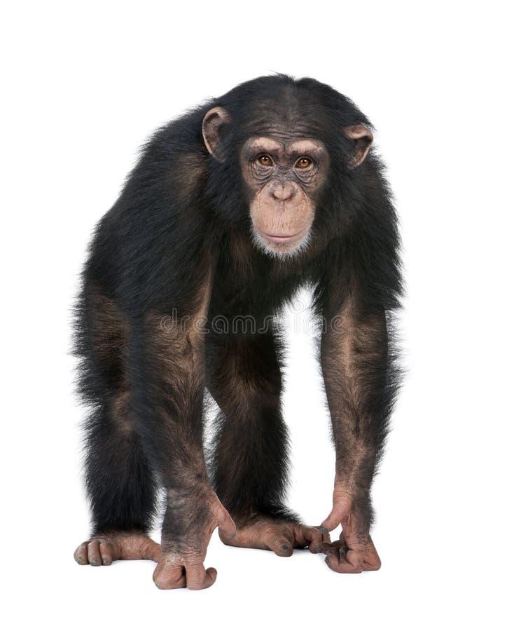 kamera szympansa simia tro przyglądający potomstwa zdjęcie stock