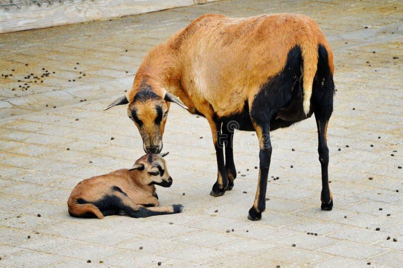 Kamerunfår och lamm arkivfoton