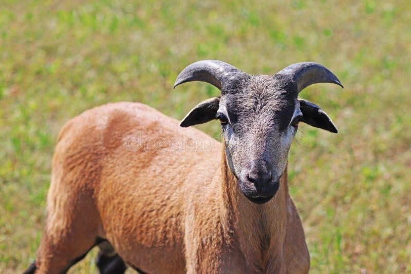 Kamerunfår, ungt RAM, på betar royaltyfri foto