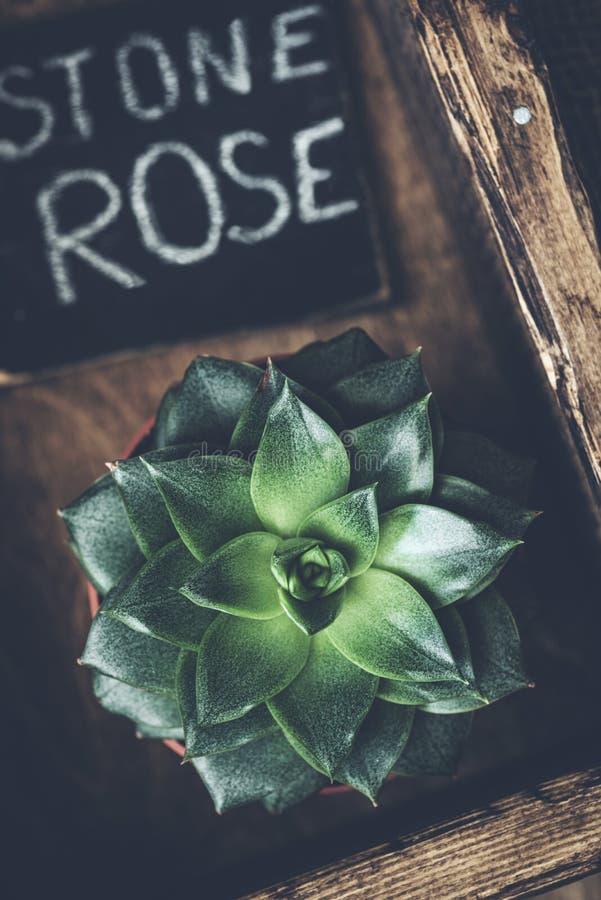 Kamień różana tłustoszowata roślina na drewnianym tle zdjęcie stock
