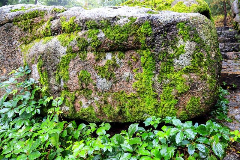 Kamień w lesie, przerastającym z mech i dzikimi winogronami obraz stock