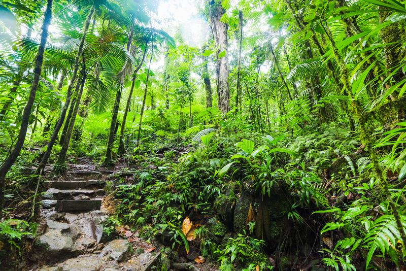 Kamieni kroki i luksusowa roślinność w Basse Terre dżungli w Guadeloupe obrazy stock