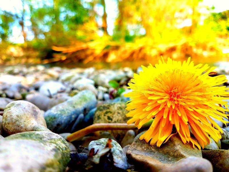 Kamienie i kwiat obrazy stock