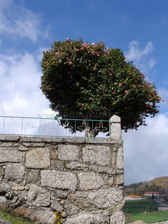 - kamienna ściana drzewo. fotografia royalty free