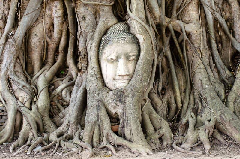 Kamienna głowa Buddha w korzeniowym drzewie obraz royalty free
