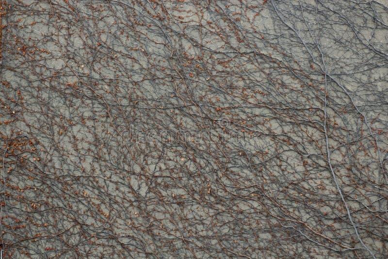 Kamiennej ściany tło z suchym więdnącym bluszczem opuszcza rośliny CR2 zdjęcia royalty free