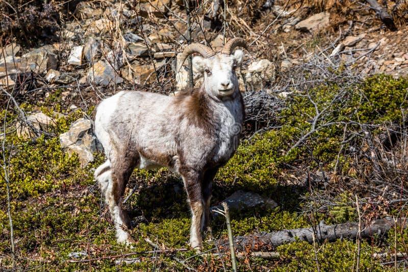 Kamienni cakle, bighorn cakle, Dall cakle, baranu spojrzenia w kierunku kamery w Yukon terytorium Kanada fotografia stock
