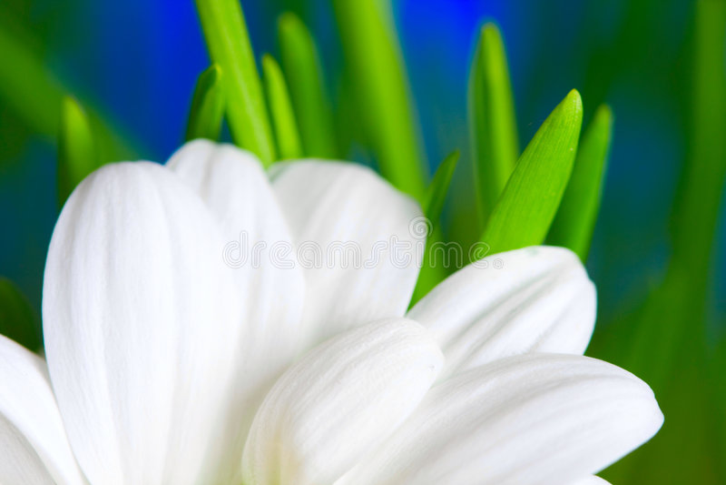 Download Kamille stockbild. Bild von auge, inneres, glitzern, chrysantheme - 9099735