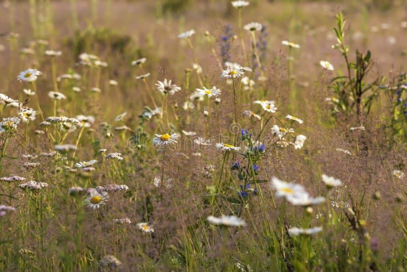 Kamille in dauw in een backlight tegen een achtergrond van geel gras stock foto