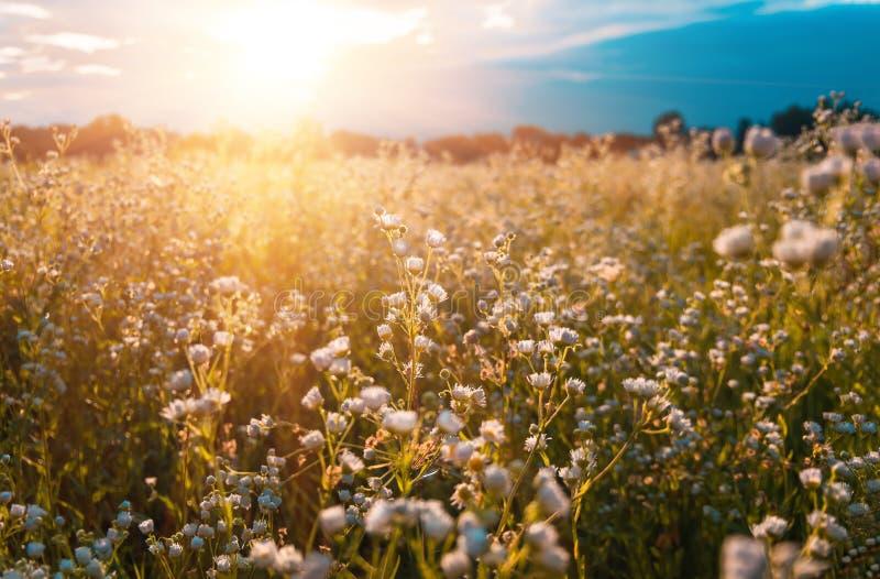Kamille in de ochtend van de gebieds vroege zomer stock fotografie