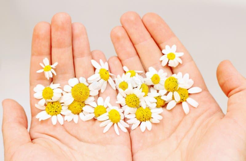 Kamille in den Händen lizenzfreies stockfoto
