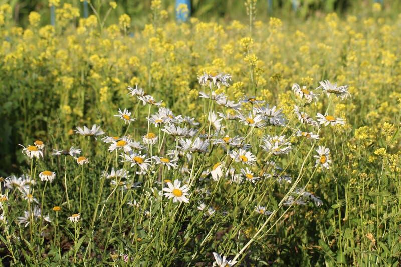 Kamille eeuwigdurende tuin stock foto's