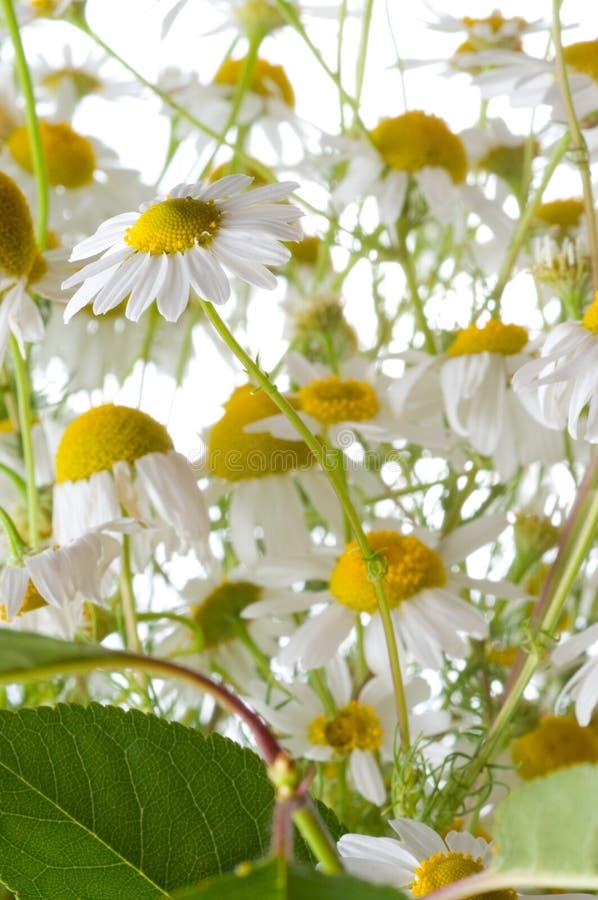 Kamille en bladeren. royalty-vrije stock fotografie