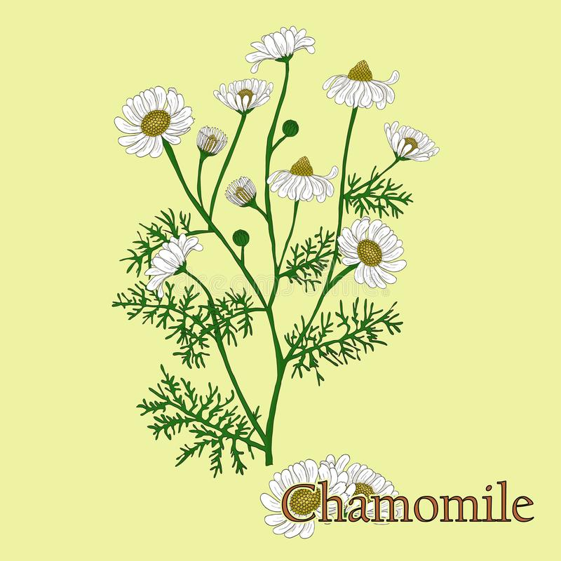 kamille Illustration einer Anlage in einem Vektor mit Blume für u stock abbildung