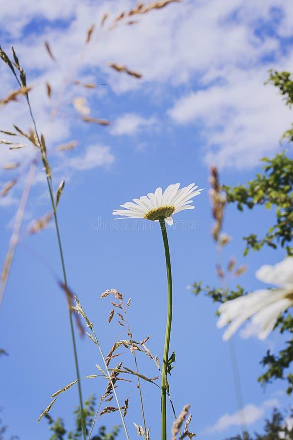 Kamille op een de zomerweide in het zonlicht, tegen de blauwe hemel, close-up Mooie de zomerachtergrond stock foto's